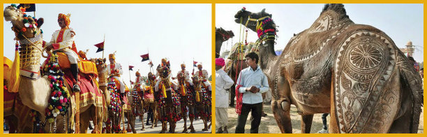 collage camel festival